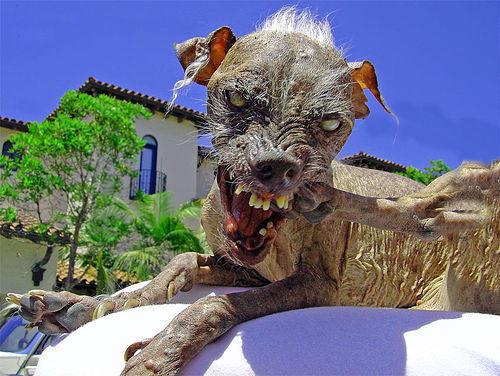 Il cane pi� brutto del mondo